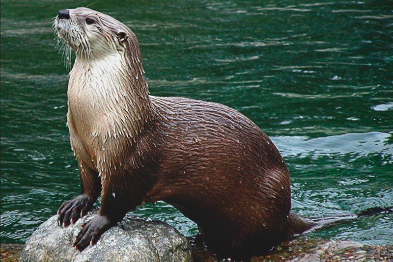 Nutria marina | Nutria marina, Animales, Animales salvajes