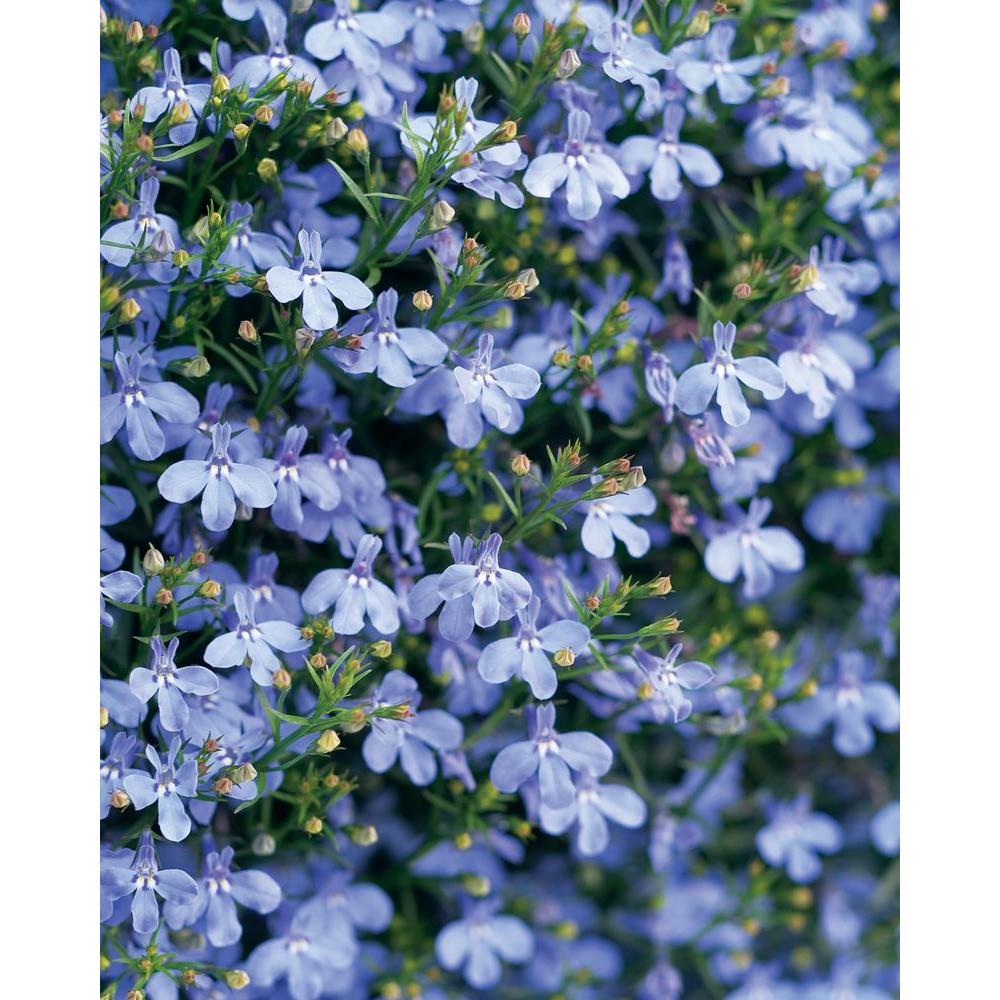 PROVEN WINNERS 4-Pack, 4.25 in. Grande Laguna Sky Blue (Lobelia) Live Plant, Light Blue Flowers-LOBPRW1027524 - The Home Depot