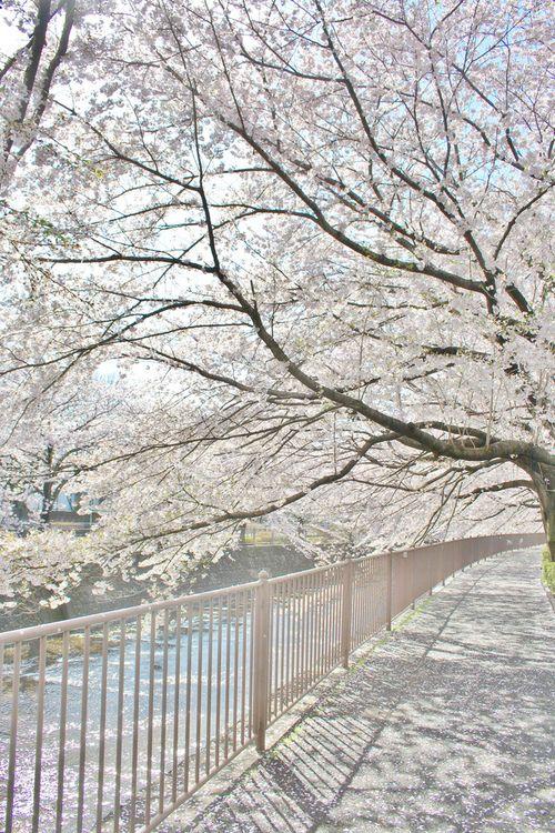 Onda River In The Cherry Blossom Season Japan Winter Wonderland Wallpaper Spring Landscape Winter Photos