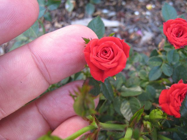 Red Minimo' microminiature rose (With images) | Fairy garden plants