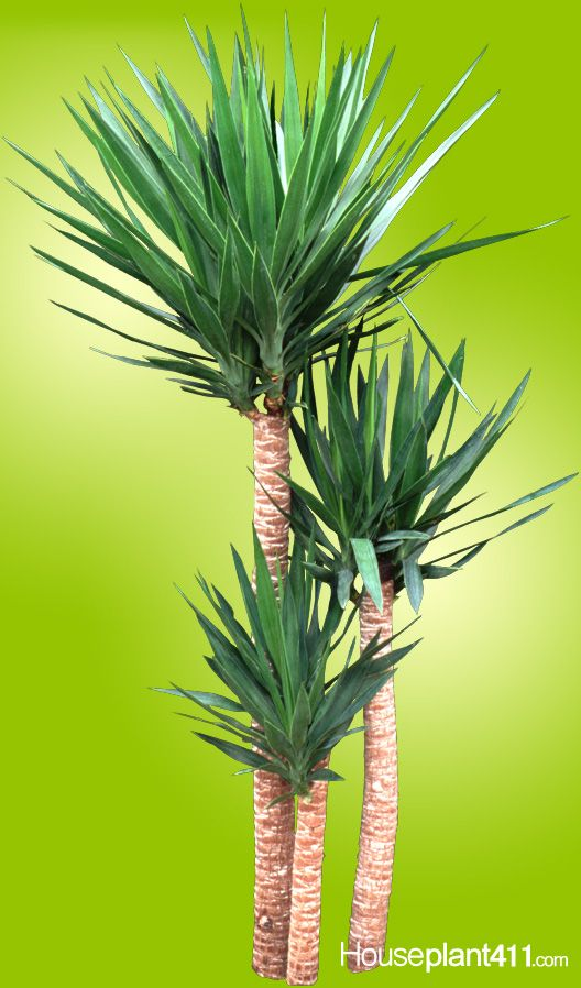 Yucca Plant Care Tips Growing Advice: Why Do Yucca #houseplants Turn Brown? Over-watering. Read