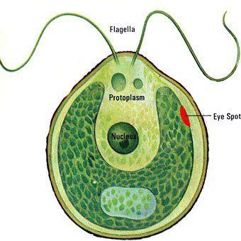 chlamydomonas | Microbiology