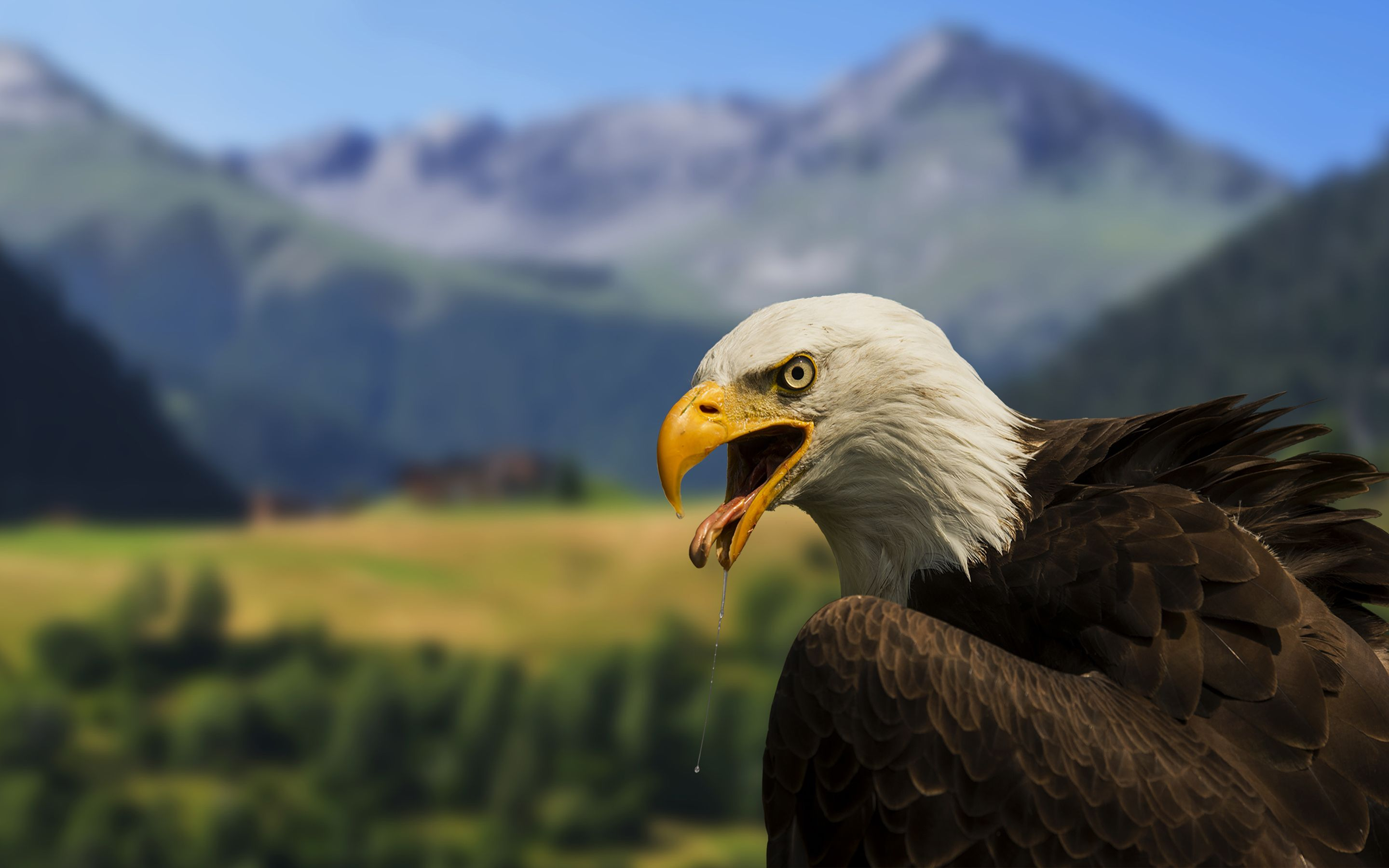 Bald eagle by robin kamp animals birds wallpapers animals bald eagle by robin kamp animals birds wallpapers voltagebd Image collections
