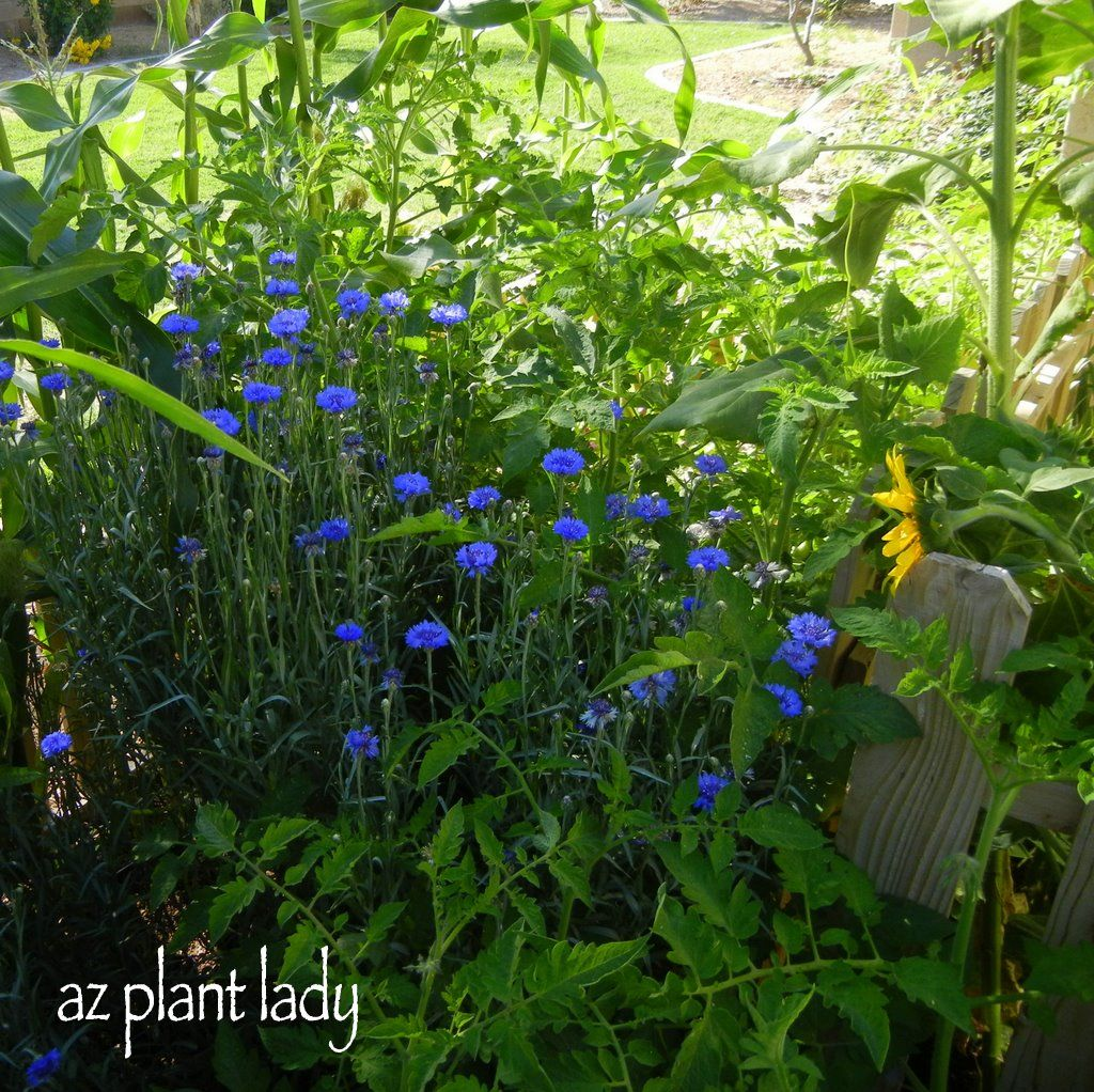 Creating Our First Vegetable Garden Advice Please: Bachelor's Button Makes A Great Companion Plant For The