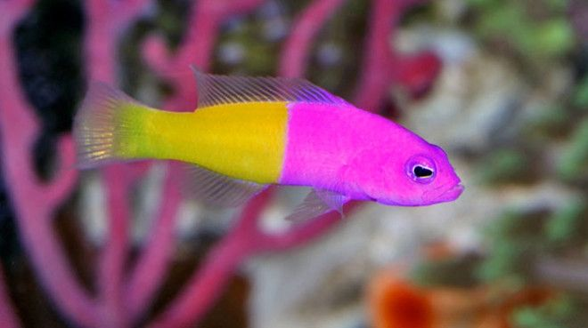 Saltwater Fish For Sale Buy Saltwater Fish Online Vivid Aquariums Saltwater Fish For Sale Fish Fish For Sale