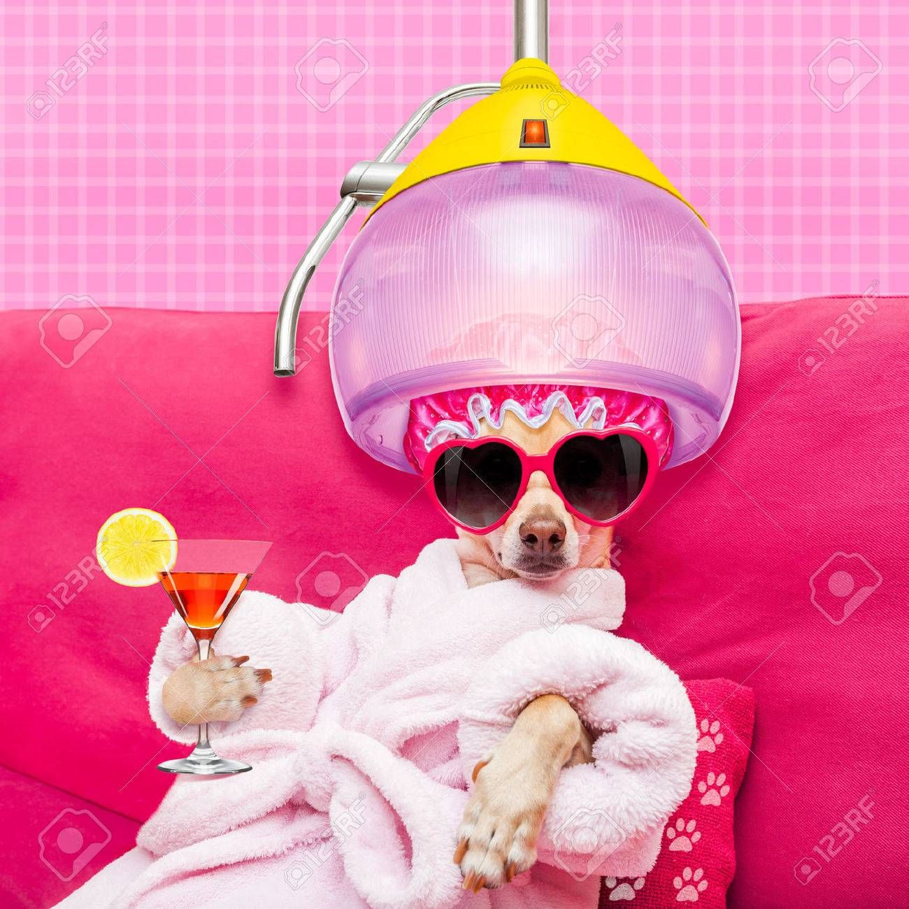 Chihuahua Dog Relaxing And Lying In Spa Wellness Center Wearing