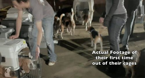 40 Beagles Rescued From A Testing Lab In Spain Come To America