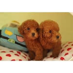 Heres What I Know About Poodle For Sale Singapore