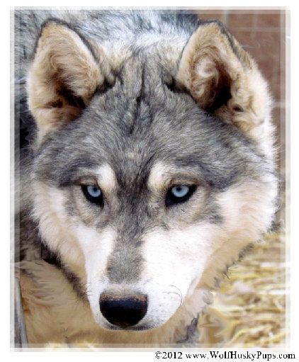 Wolf Hybrid I Will Have My Own White Fang Wolf Dog Wolf