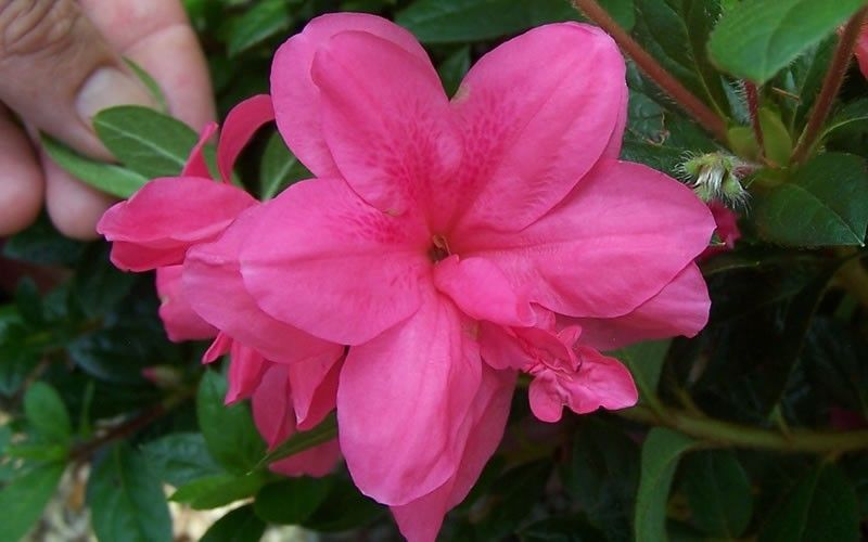 Autumn Empress Encore Azalea Flowering Shrubs Azaleas Evergreen Shrubs