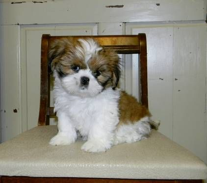 8 Week Old Lhasa Apso Puppies Looking For A Home Lhasa Apso