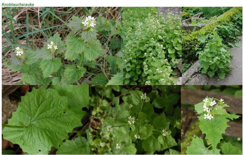 Wiese pflücken für Anfänger | Essbare pflanzen, Pflanzen