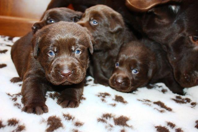 Uk Labrador Breeders Chocolate Labrador Puppies For Sale Labrador Labrador Puppy Labrador Puppy Training