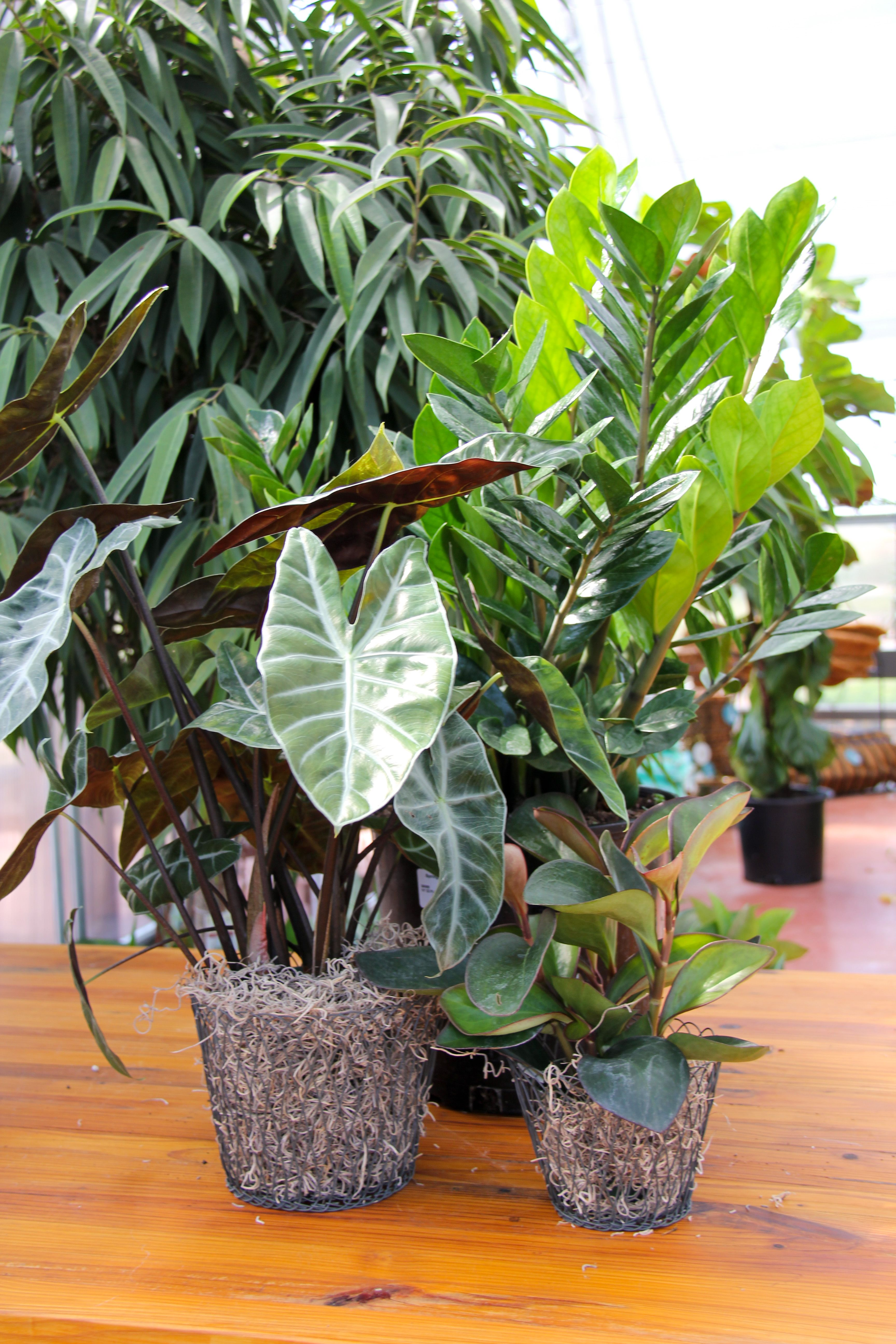House Plant Favorites: ZZ Plant, Alocasia Morocco, and ... on order birds of paradise plant, zamiifolia house plant, spider house plant, fig house plant, houseplants plant, croton house plant, banana house plant, cast iron plant, rubber house plant, hydrangea house plant, peperomia house plant, fern house plant, zi zi plant, arrowhead house plant, umbrella house plant, avocado house plant, eternity plant, house plant identification succulent plant,