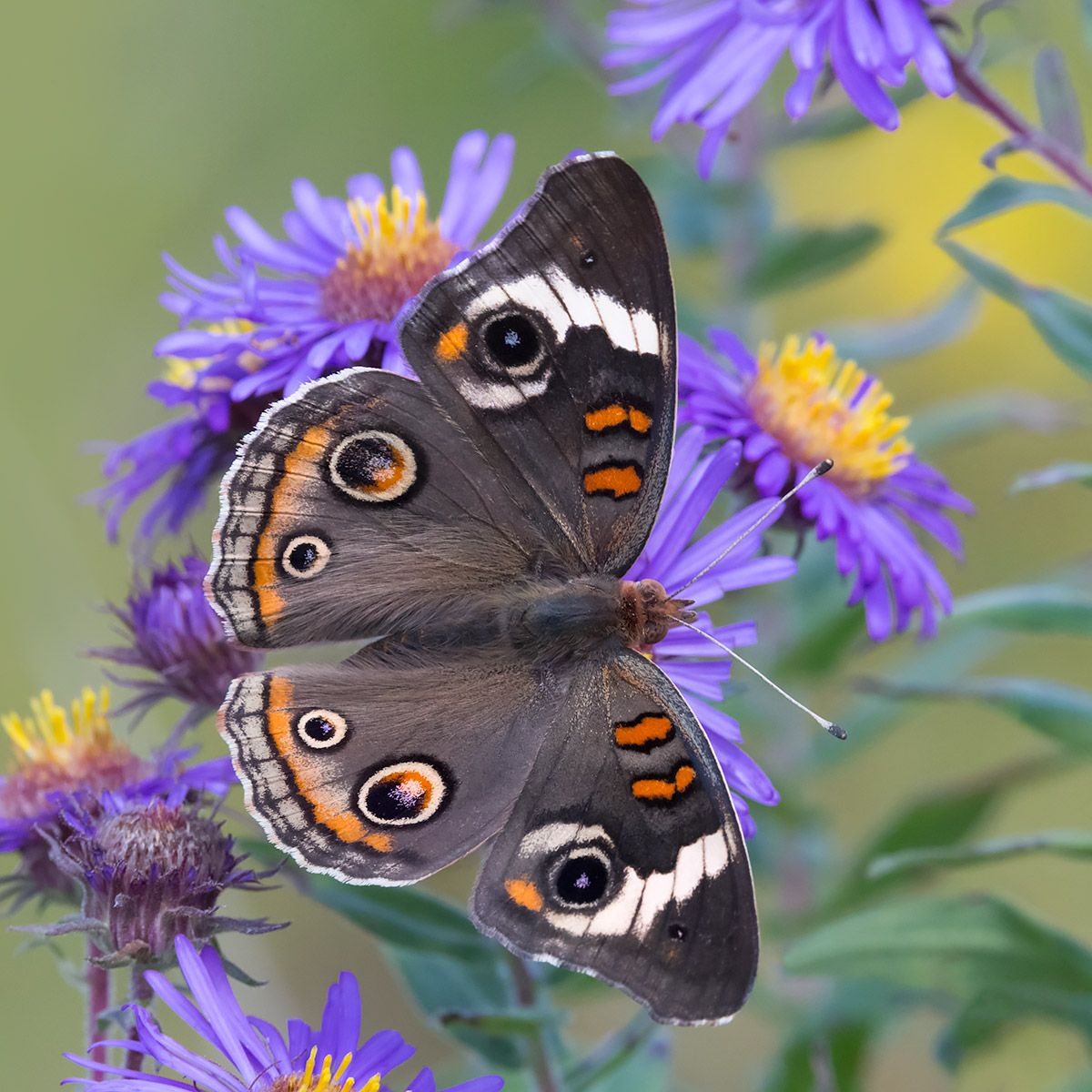 Buckeye Butterfly Late summer asters are the best place to