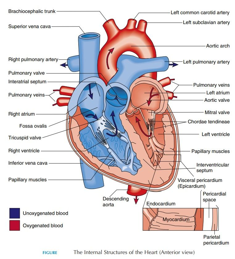 Http Www Brainkart Com Media Article Article The Heart Structure Dwn Jpg In 2020 Heart Diagram Heart Anatomy Anatomy And Physiology