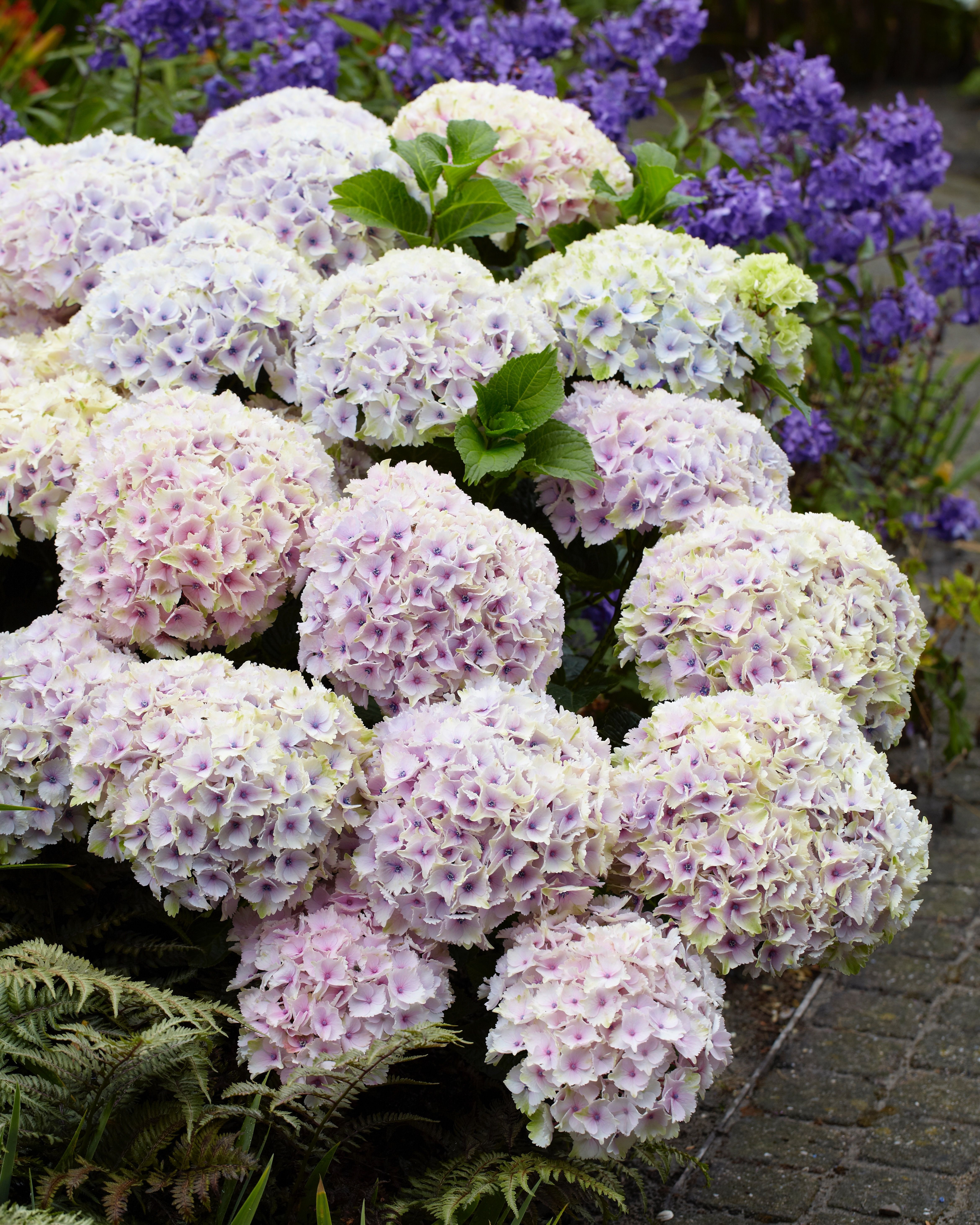 Hydrangea Everlasting Ocean Has Fully Double Round Blooms In The Sweetest Color Blooms Begin Soft P Hardy Hydrangea Hydrangea Not Blooming Panicle Hydrangea
