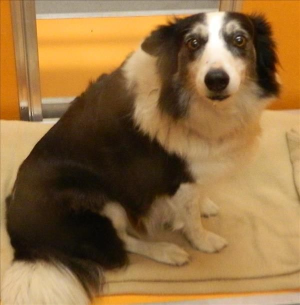 SUPER URGENT! Very high kill shelter! Maggie ID# 25624 is an adoptable 6yr. old female Border Collie searching for a forever family near Tulare, CA. Available at Tulare Animal Services.