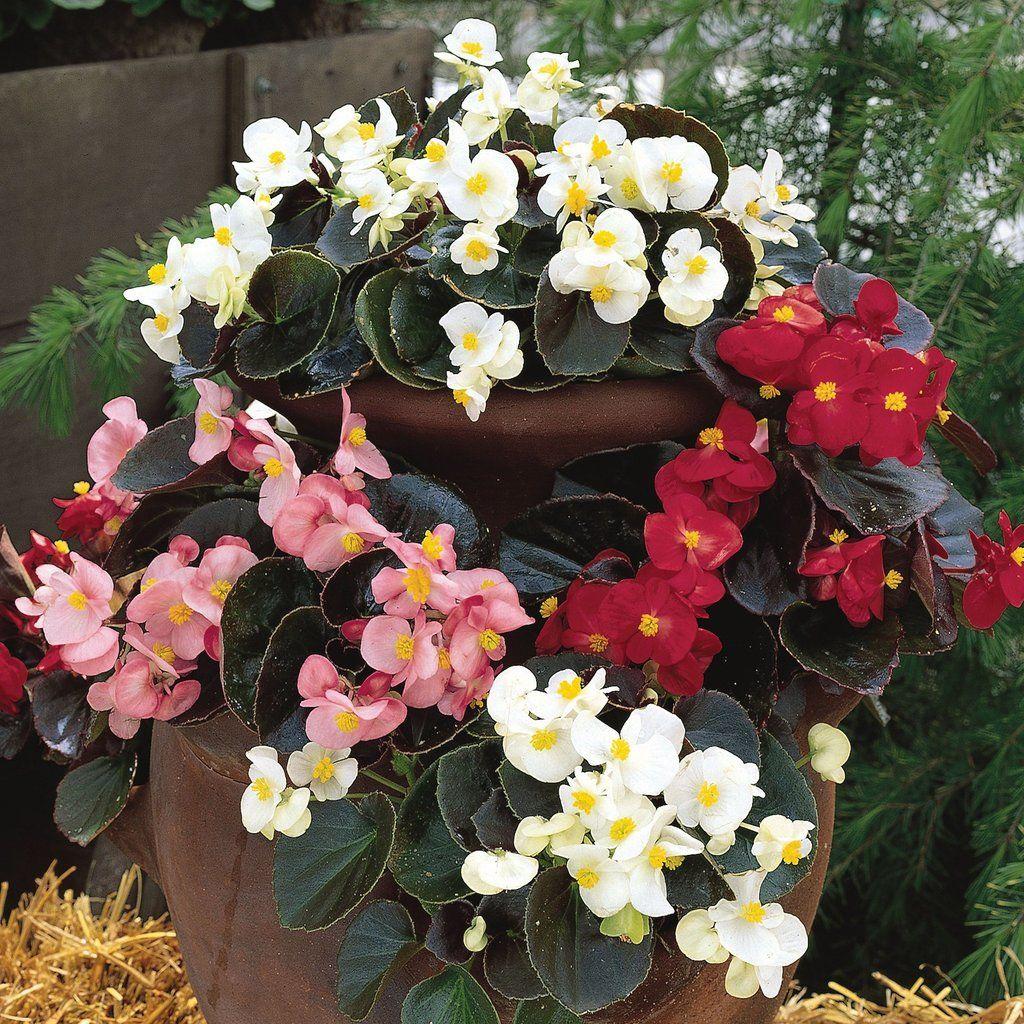 Begonia Bada Bing Mix Sold Out Pinetree Garden Seeds Flowers Begonia Flower Arrangements Chinese Lanterns
