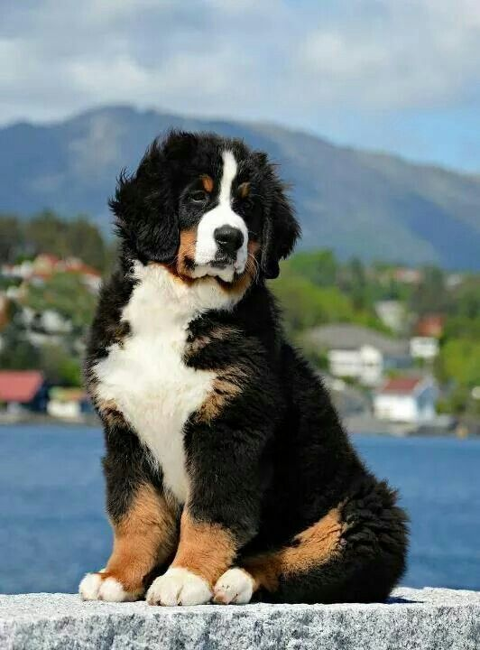 Pin By Michelle Kollmann On It S A Dog Thing Mountain Dogs Beautiful Dogs Dogs