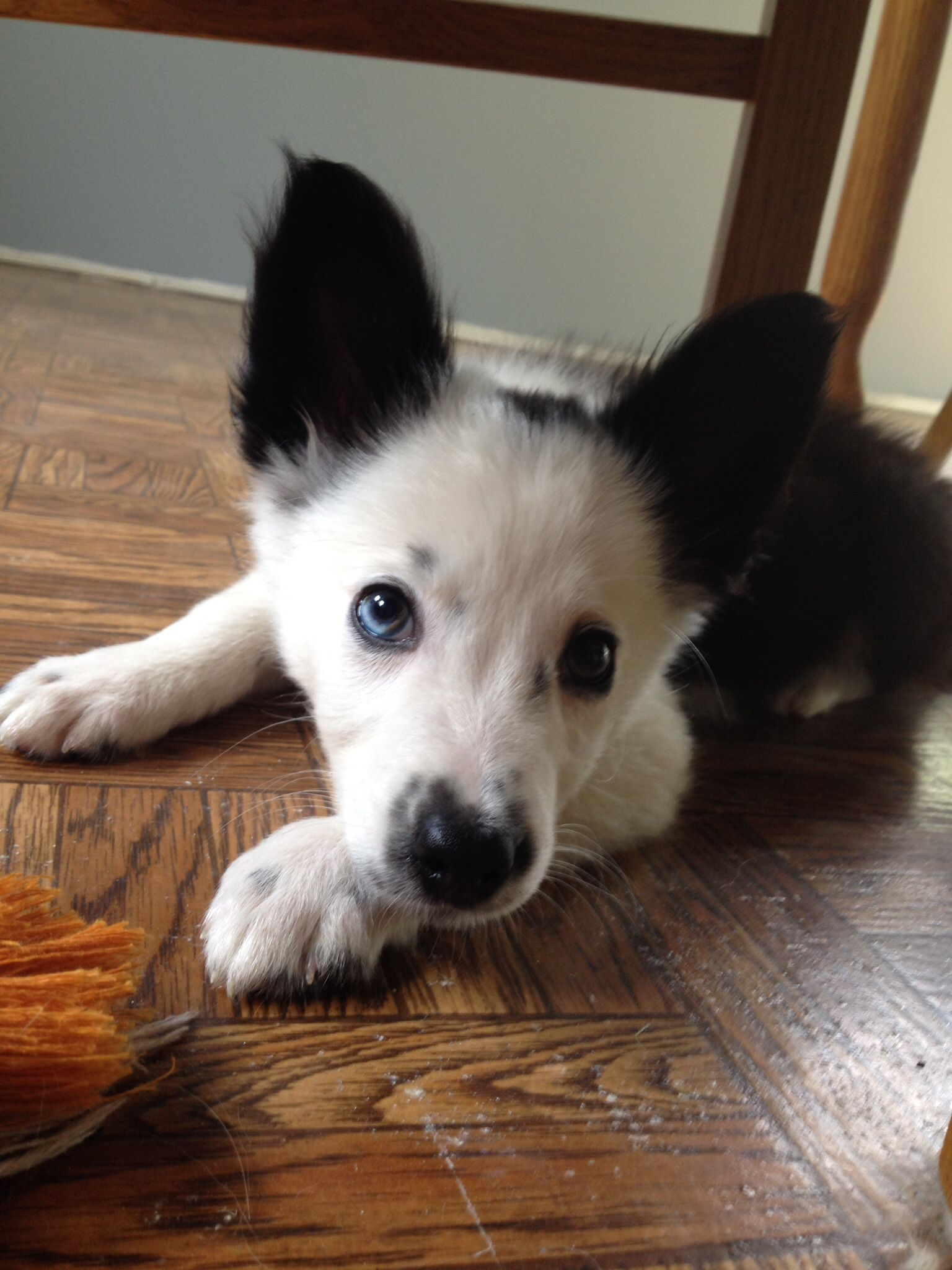 White Faced Border Collie Pup At 12 Weeks Collie Dog Cute Dogs