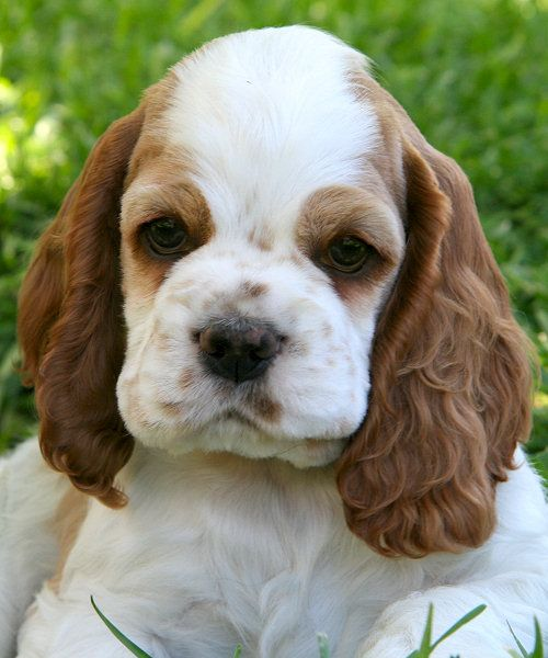 I Want Another Puppy With Images Cocker Spaniel Puppies Spaniel Puppies Cocker Spaniel