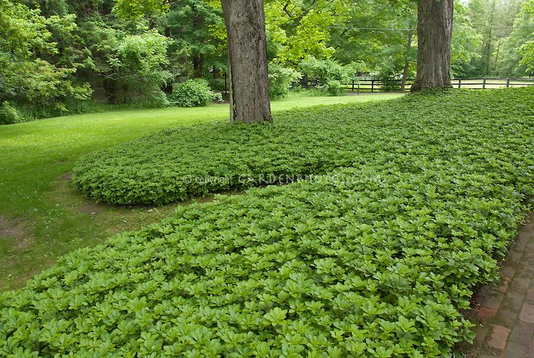 Grass Alternative In Mass Planting Of Pachysandra Terminalis Groundcover Around Tree In Shade Ground Cover Plants Landscaping Around Trees Lawn Alternatives