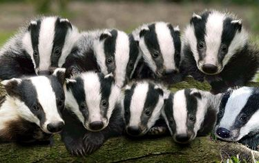 Image result for group of badgers