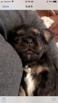 Litter of 7 Cocker Spaniel puppies for sale in MILFORD, NH