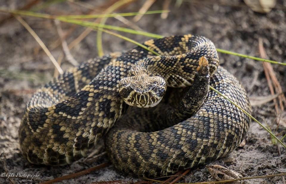 Young Eastern Diamondback Rattlesnake In South Carolina Notice Its Baby Rattle Photo By Gary Berger Reptiles And Amphibians Animals Amphibians