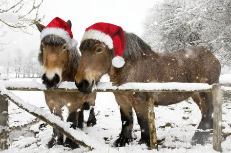 Belgian Horses in Winter Wearing Christmas Hats Valokuvavedos AllPosters.fi-sivustossa