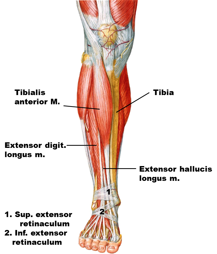 peroneus longus - Google 검색 | Legs | Pinterest | Anatomy, Muscles ...