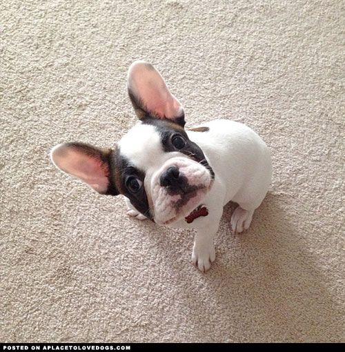 French Bulldog All Ears
