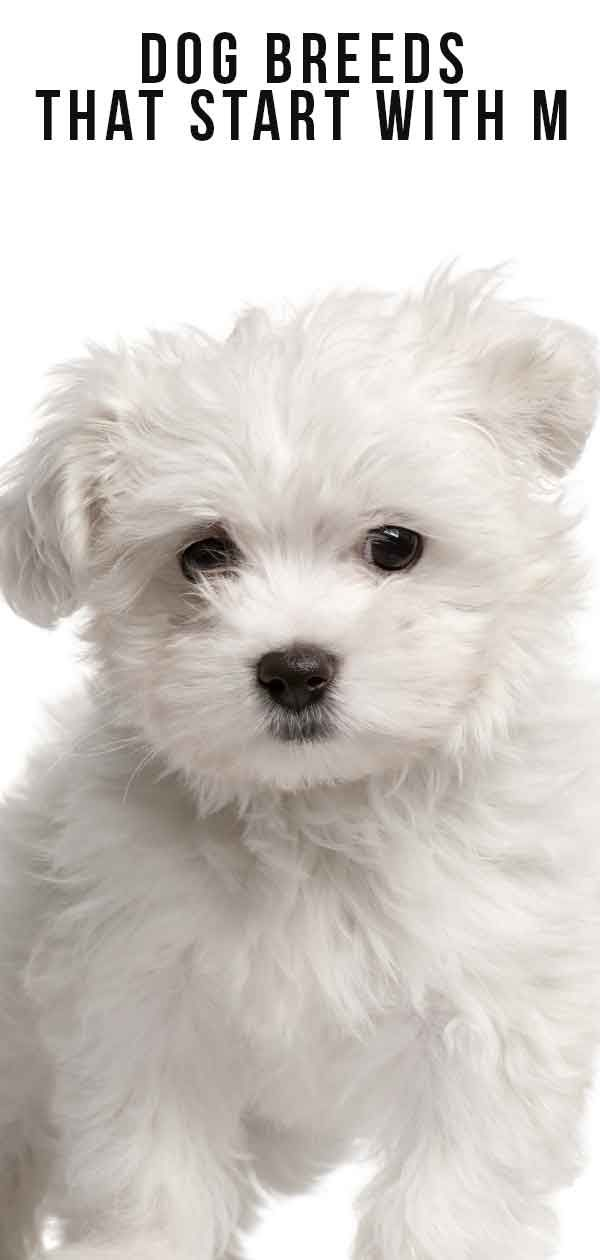 Dog Breeds That Start With M Dog facts, Dog breeds, Dogs