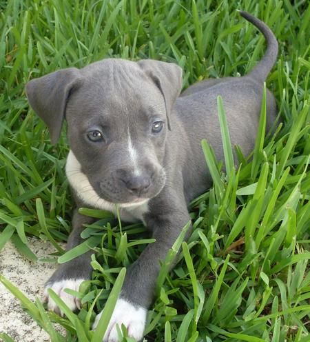 If I Was Ever To Have A Pit I Would Have A Grey One This Little