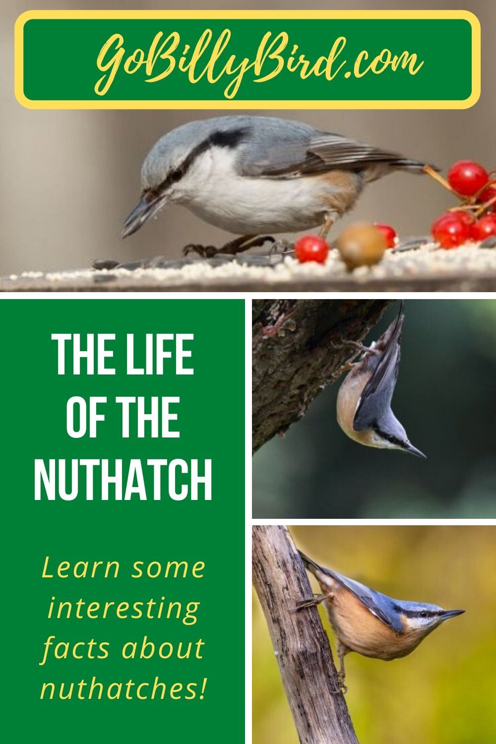 The Life of the Nuthatch in 2020 Nuthatch, Backyard