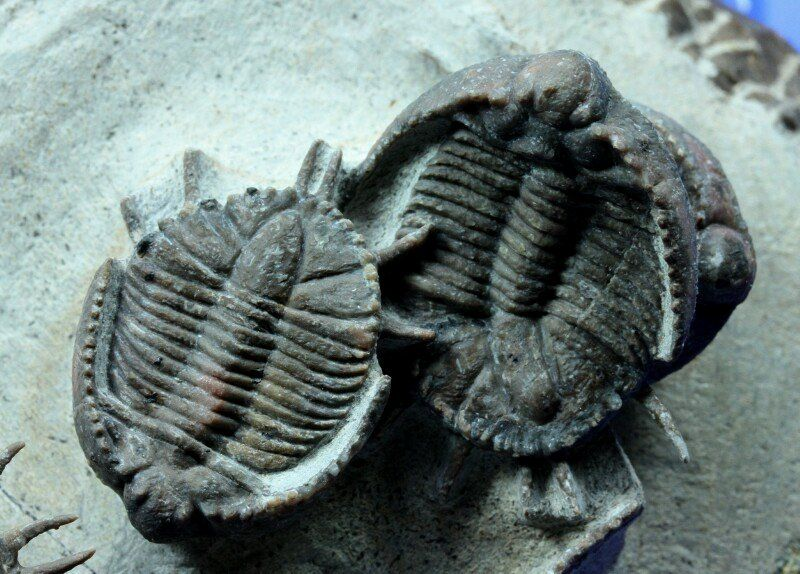Basseiarges mellishae  Trilobites Order Lichida, Family Lichidae, Subfamily Trochurinae  Geological Time: Middle Devonian