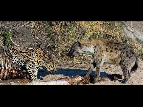 Hungry Leopard Meets Hyena with Prey - Wild Animals Fighting