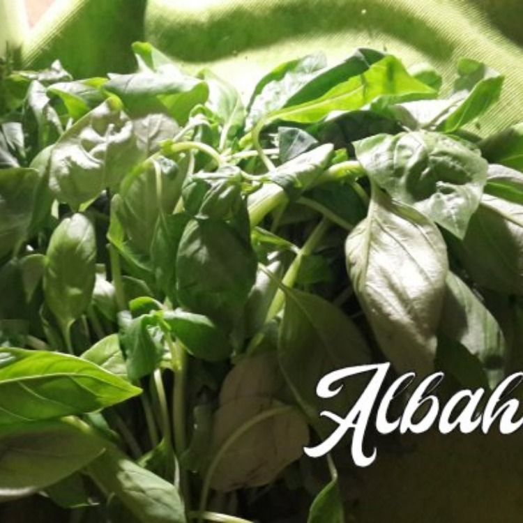 Albahaca Santa Beneficios
