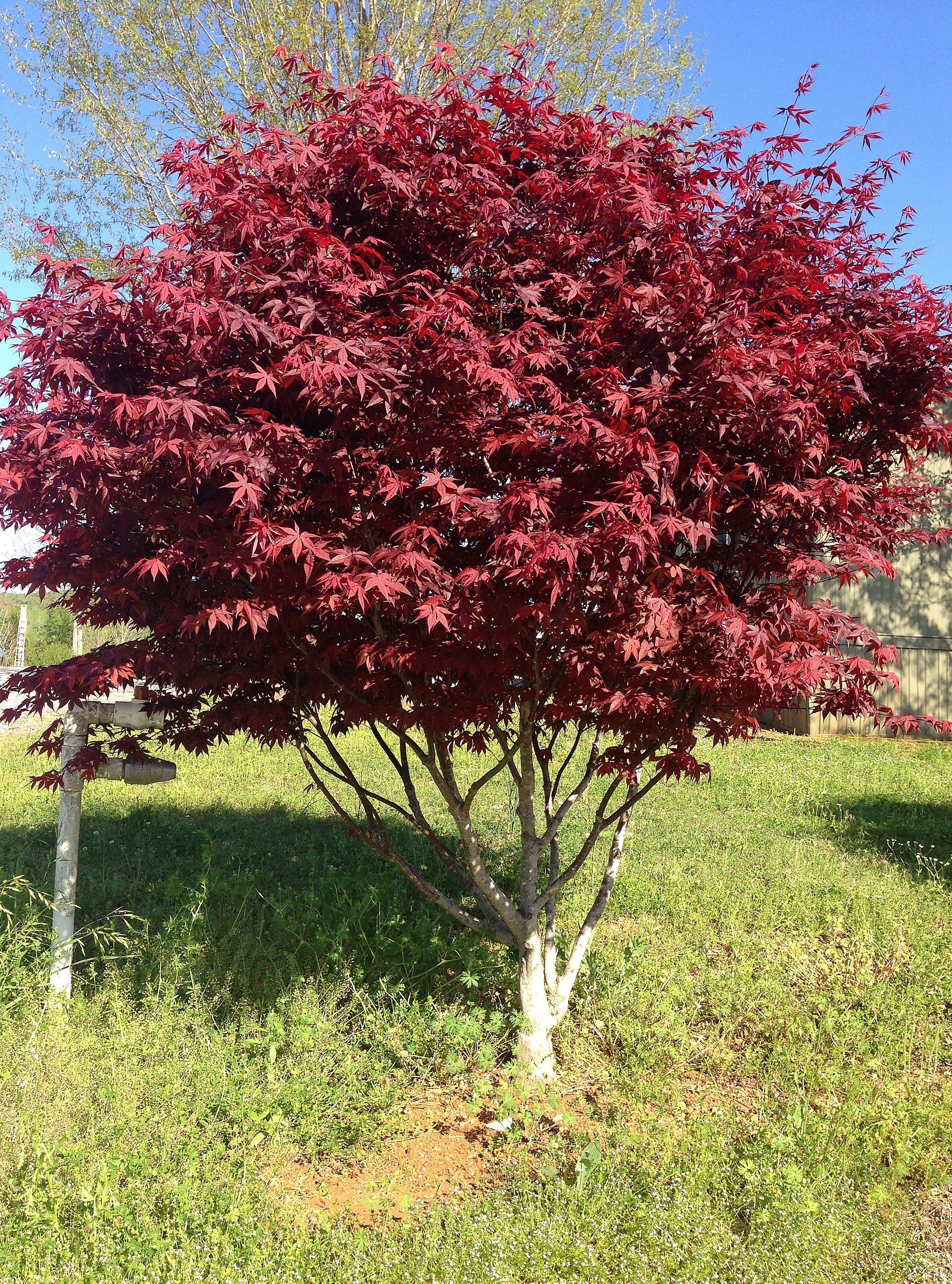 Bloodgood Japanese Maple Ornamental Trees Pinterest