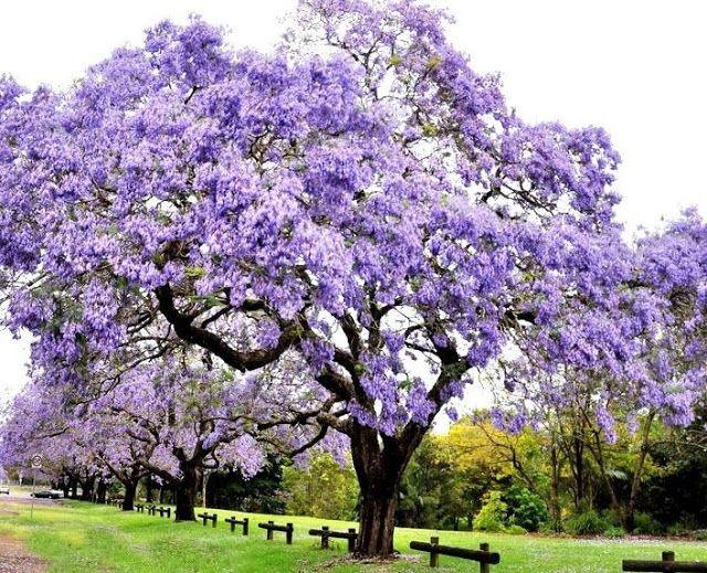 Paulownia tomentosa o paulownia imperial es un rbol for Jardin imperial chino