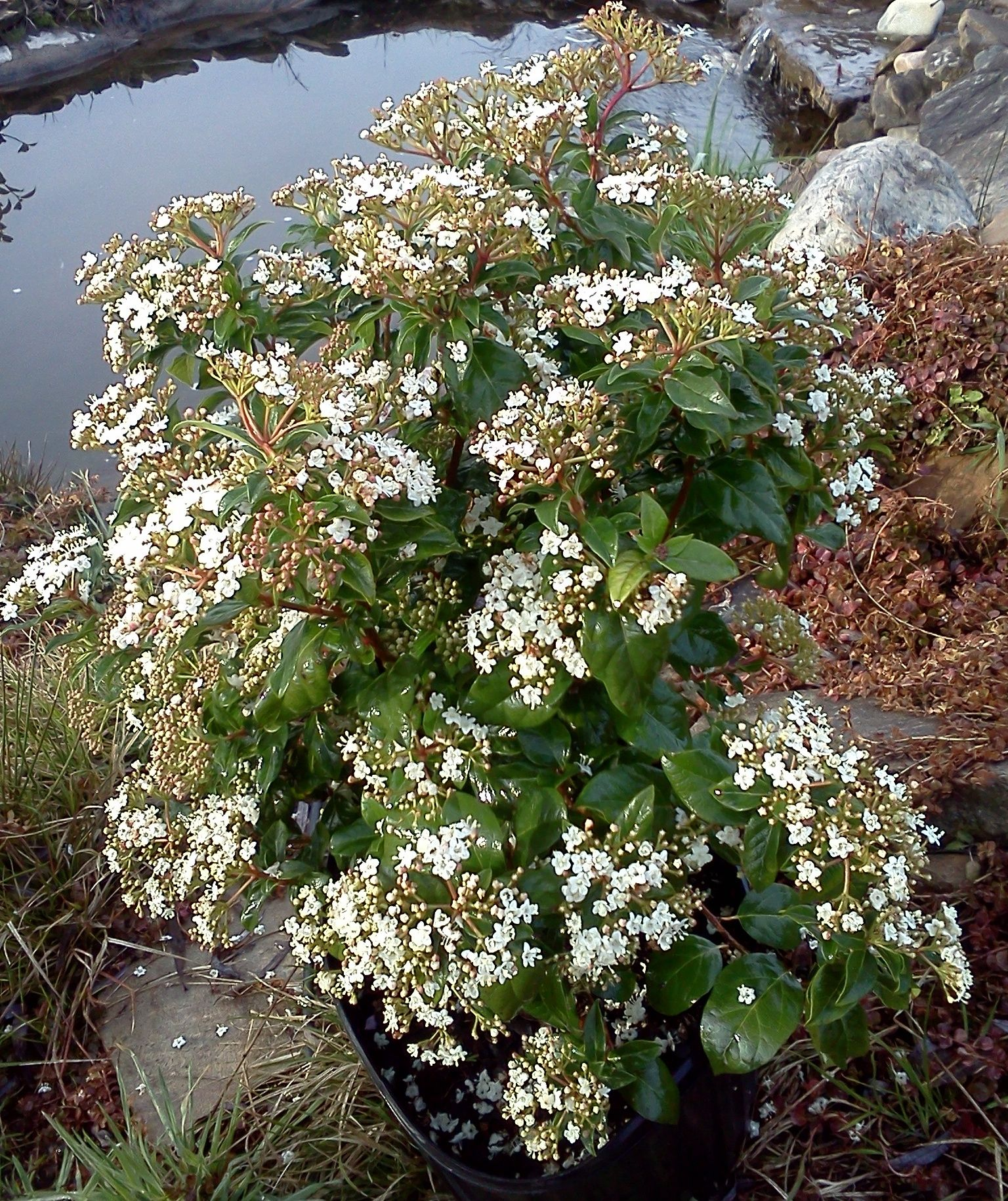 viburnum tinus 39 spring bouquet 39 budded out not in full bloom design front entrance. Black Bedroom Furniture Sets. Home Design Ideas
