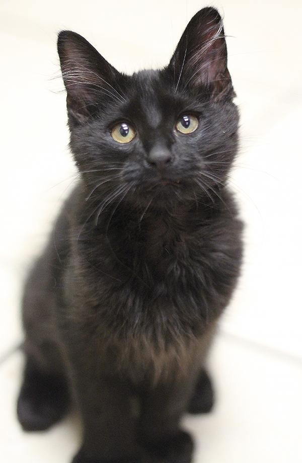Meet Hemingway An Adoptable Domestic Medium Hair Black Looking For A Forever Cat Adoption Cat Today Cat Rescue