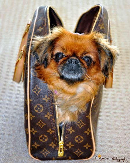 I M Ready To Go Out With You Perros Pekineses Perros