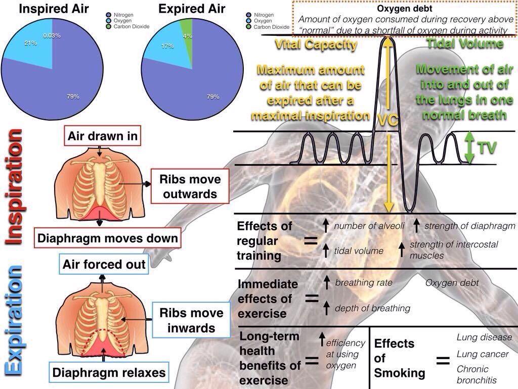 Breathing Anatomy and physiology, Gcse pe