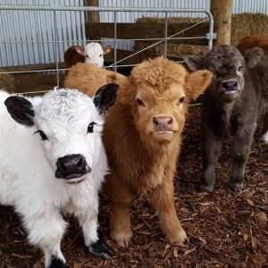 three pretty, little and chubby cows
