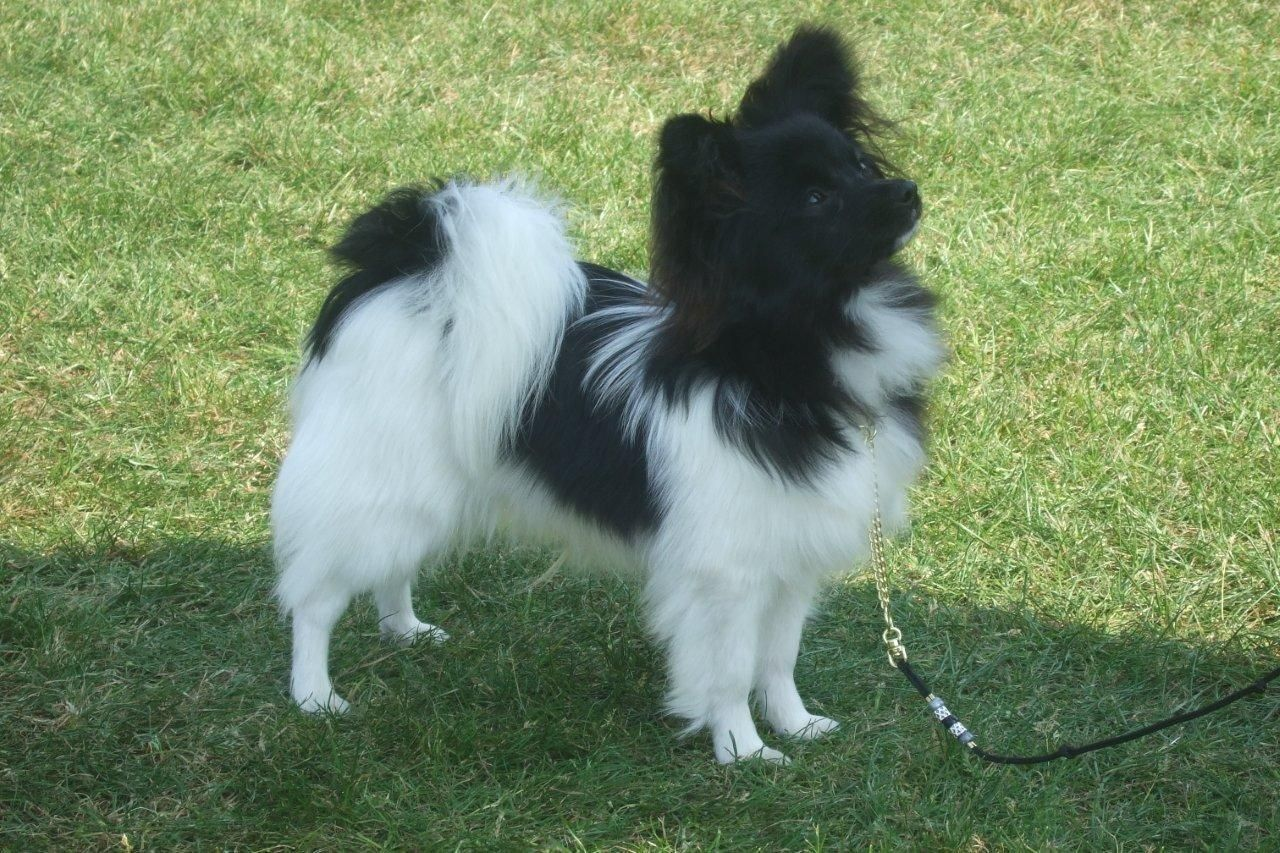 Paperanian Papillon Pomeranian Mix Puppies Info Care Pictures