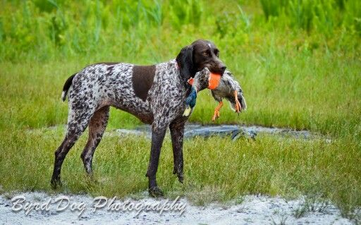 Perfect Bird Dog German Shorthaired Pointer Duck Hunting Dogs
