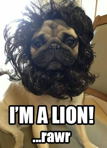 I M A Lion Rawr Pug Looks Like An Adorable Little Lion Pugs