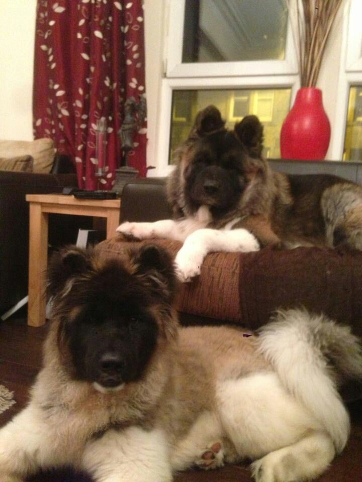 Long Coated Akita S Akita Love Love Love